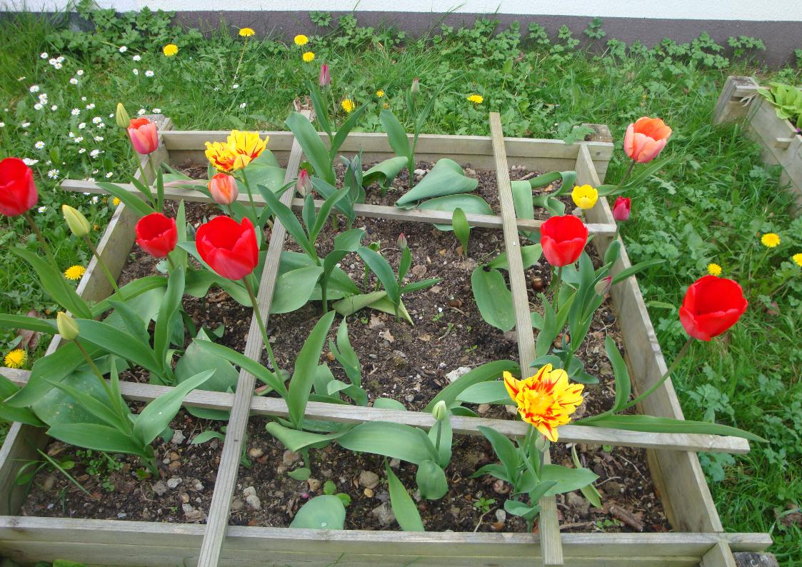 Tulipe 1